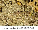lizard basking in the rays of... | Shutterstock . vector #655385644