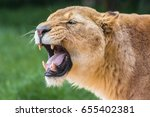 Lioness With Open Mouth Agains...