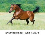 bay arabian stallion runs gallop | Shutterstock . vector #65546575