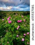 Stock photo bulgarian rose field at sunset rosa damascena shot near karlovo bulgaria 655537081