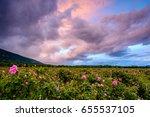 Stock photo bulgarian rose field at sunset rosa damascena shot near karlovo bulgaria 655537105