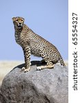 Cheetah male on lookout, Serengeti National Park, Tanzania, East Africa - stock photo