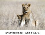 Lion bigbrother babysitting cub, Serengeti National Park, Tanzania, East Africa - stock photo