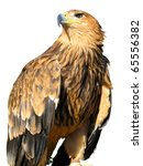 Young Brown Eagle Sitting On A...