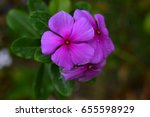 Small photo of These beautiful flowers abound in areas of the Caribbean and come in several beautiful colors
