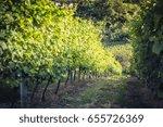 vineyard countryside row  ...   Shutterstock . vector #655726369