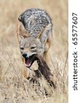 Black-backed jackal eating carcass, Serengeti National Park, Tanzania, East Africa - stock photo