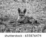 a bat eared fox in savanna in... | Shutterstock . vector #655876474