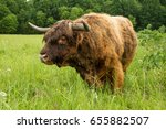 Scottish Highland Bull Looking...