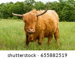 scottish highland cow in a... | Shutterstock . vector #655882519