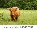 scottish highland cow standing... | Shutterstock . vector #655882531