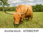 scottish highland cow in a... | Shutterstock . vector #655882549