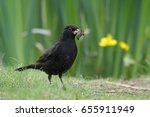 Male Blackbird  Turdus Merula ...