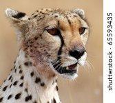 Wild cheetah close-up, Serengeti, Tanzania - stock photo
