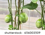 Small photo of fresh big green brinjal or Thai eggplant hanging on trees in organic farm