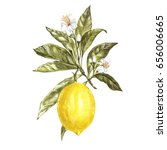 branch of watercolor lemon tree ... | Shutterstock . vector #656006665