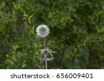 Echinops Flower In Natural...