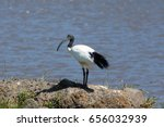 The african sacred ibis is a...