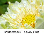 detail of white lotus blossom... | Shutterstock . vector #656071405
