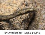 tentacled snake  erpeton... | Shutterstock . vector #656114341