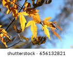 Small photo of The leaves of Acer ginnala in fall
