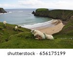 Sheep Grazing On A Grass Over...