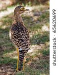 Spotted Thick Knee  Known In...