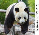 Small photo of Giant panda, Ailuropoda melanoleuca, climbing