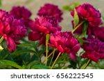 red peonies in the garden....   Shutterstock . vector #656222545