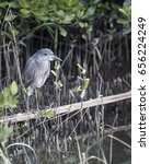 Small photo of Yellow-crowned Night Heron in a natural landscape