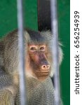 baboon looking through the bars ... | Shutterstock . vector #656254939