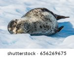 Leopard Seal On Ice Flow In...
