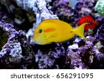 Small photo of Orangespot surgeonfish, Acanthurus oliveaceus is marine fish live in the coral reef under the sea. it's popular to used as a pet in an aquarium. it is in Family Acanthuridae
