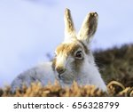 Small photo of White hare