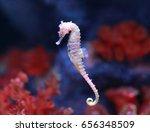 Seahorse  hippocampus  swimming