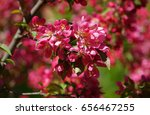 the blossoming apple tree with... | Shutterstock . vector #656467255