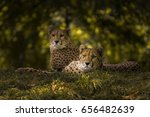 These Two Cheetahs Were Among...