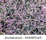 beautiful purple heart trees...   Shutterstock . vector #656485165
