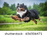 Bernese Mountain Dog Flying In...