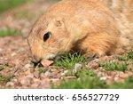 prairie dog eating some plants... | Shutterstock . vector #656527729