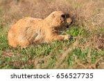 prairie dog walking through a... | Shutterstock . vector #656527735