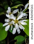 Small photo of Flowers of the Western Serviceberry (Amelanchier alnifolia)
