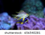 Small photo of Golden damselfish, Amblyglyphidodon aureus is marine fish live in the coral reef under the sea. it's popular to used as a pet in an aquarium or home fish tank. it is in Family Pomacentridae