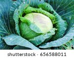 cabbage fresh background green... | Shutterstock . vector #656588011