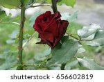 Wonderful Red Rose Against An...