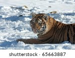 highland wildlife park in the... | Shutterstock . vector #65663887