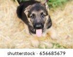 german shepherd puppy from above | Shutterstock . vector #656685679