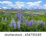 wildflowers  wild lupine ... | Shutterstock . vector #656750185