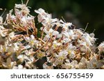 Small photo of California buckeye flowers (Aesculus californica)