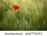 Sunlit Red Wild Poppy Shot Wit...
